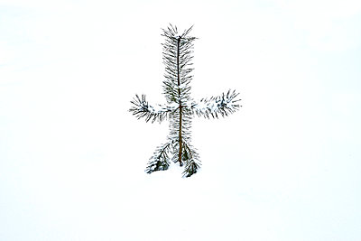 Fir tree in winter - p1312m2191376 by Axel Killian