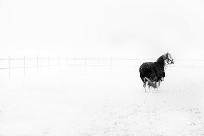Sweden, Ostergotland, Horse (Equus ferus caballus) in field in winter - p352m1100736f by Niclas Albinsson
