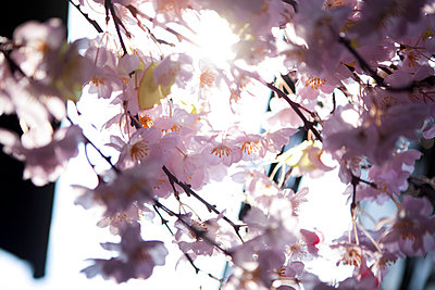 Pink Cherry Blossom, Close-up View - p669m806436 by Kelly Davidson