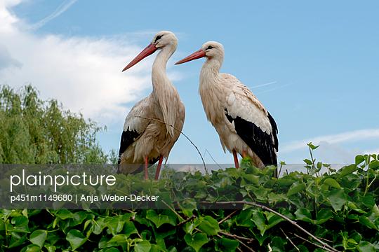 Storchenpaar im Storchennest - p451m1149680 von Anja Weber-Decker