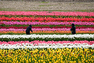 Tulip Farm - p1262m1286473 by Maryanne Gobble