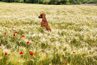 Magyar Vizsla in einem Gerstenfeld mit Mohnblumen - p739m1030877 von Baertels