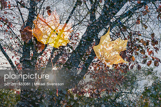 plainpicture | Photo library for authentic images - plainpicture p312m1533081 - Autumn leaves in puddle - plainpicture/Johner/Mikael Svensson