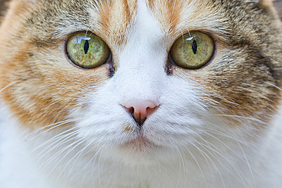 Close-up portrait of a cat - p1025m789068f by Susanne Flink