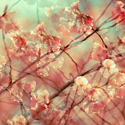 Branches and white blossoms, multiple exposure - p1640m2245917 by Holly & John
