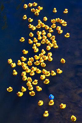 Rubber ducks, one blue duck - p300m1587589 by Werner Dieterich