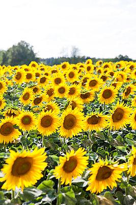Sunflower field - p756m1057161 by Bénédicte Lassalle
