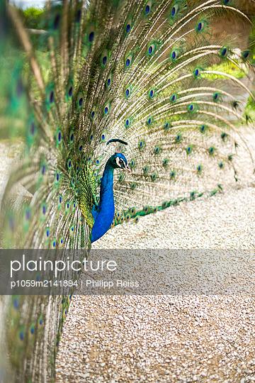 Pfau - p1059m2141894 von Philipp Reiss