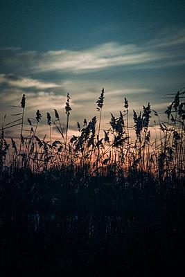Sonnenuntergang mit Schilf - p1199m1538846 von Claudia Jestremski