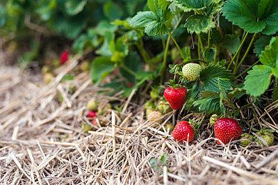 View of strawberry field - p300m718923f by Jana Mänz