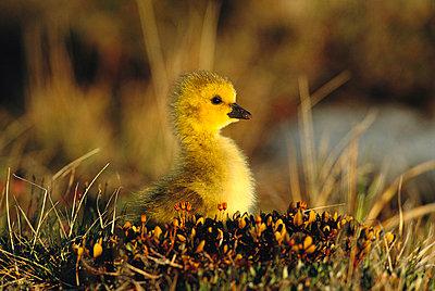 Canada Goose gosling - p884m862829 by Tom Vezo