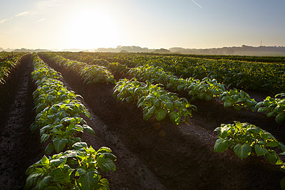 Kartoffelacker morgens - p897m1083228 von MICK