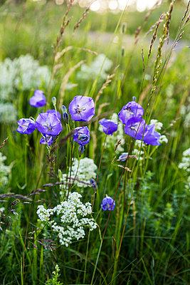 Purple wildflowers - p312m2079237 by Thomas Adolfsén