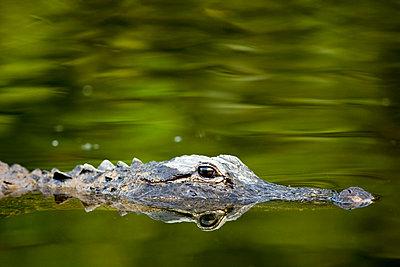 Alligator - p871m861569 by Tim Graham