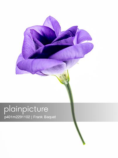 Lisianthusblüte - p401m2291102 von Frank Baquet