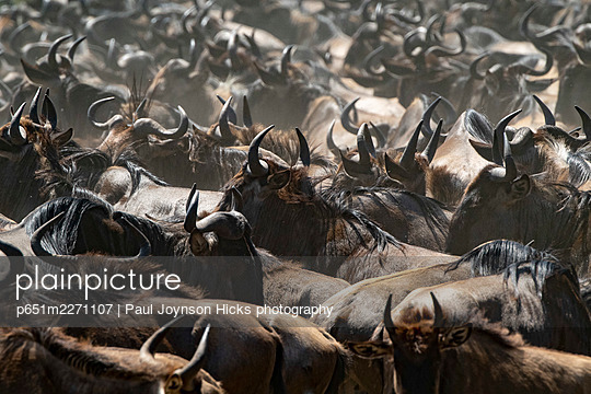 Wildebeest migration Serengeti National Park, Tanzania, Africa - p651m2271107 by Paul Joynson Hicks photography