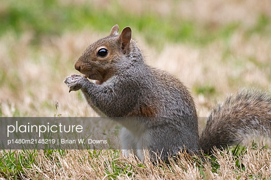 Portrait of a gray squirrel eating - p1480m2148219 by Brian W. Downs