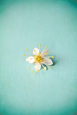 Small White Blossom - p1248m1562045 by miguel sobreira