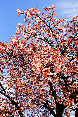 Cherry blossom - p1271m1553241 by Maurice Kohl