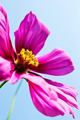 Pink cosmea flower, close up - p300m2102856 von Dieter Heinemann