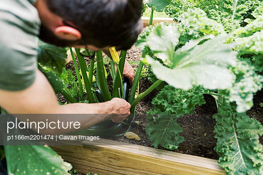 A man harvesting the first zucchini - p1166m2201474 by Cavan Images
