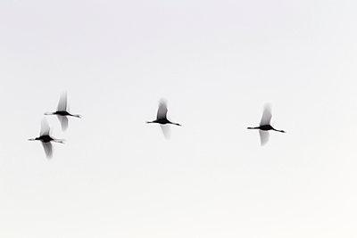 Vier Kraniche im Flug - p745m891643 von Reto Puppetti
