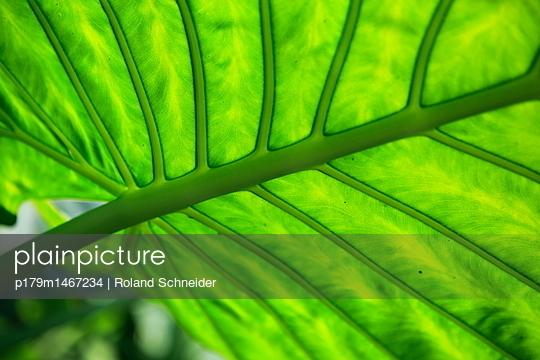 Close-up of leaf veins - p179m1467234 by Roland Schneider