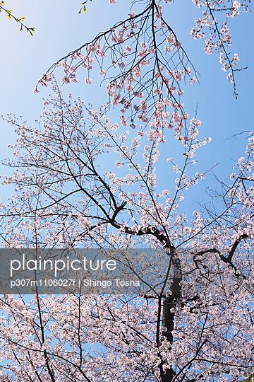 Cherry blossoms - p307m1106027f by Shingo Tosha