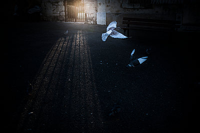 Pigeons flying away in a ray of sunlight - p1007m1134127 by Tilby Vattard