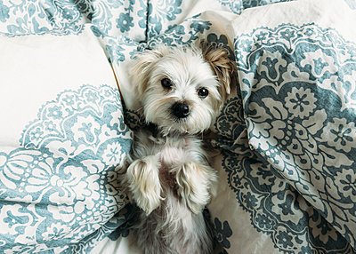 High angle portrait of puppy lying on bed - p1166m1186777 by Cavan Images
