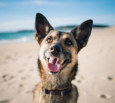 Portrait of mongrel on the beach - p300m1141071 by Ramon Espelt
