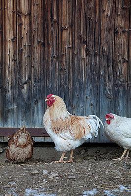 Chicken farm - p4410585 by Maria Dorner