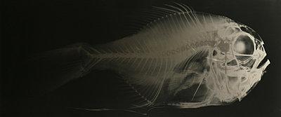 Fish skeleton, X-ray image - p1624m2223717 by Gabriela Torres Ruiz