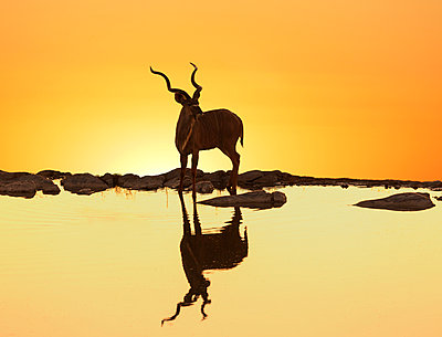 Kudu (Tragelaphus strepsiceros) reflecting in a lake at sunset , Etosha National Park, Namibia - p429m1006431f by Lost Horizon Images