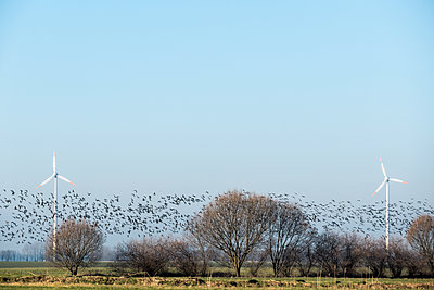 Flock of grey geese among wind turbines - p739m1119420 by Baertels