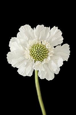 White Scabiosa flower, close-up - p495m2301601 by Jeanene Scott