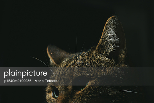 Tabby cat on black background - p1540m2100956 by Marie Tercafs