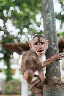 Capuchin Monkey on metallic pole, Misahualli, Ecuador - p300m2240217 by MORNINGVIEW AGENCY