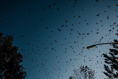 Vogelschwarm am blauen Himmel - p586m1118948 von Kniel Synnatzschke