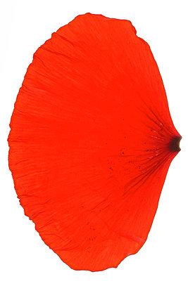 Petals in studio - p4010616 by Frank Baquet