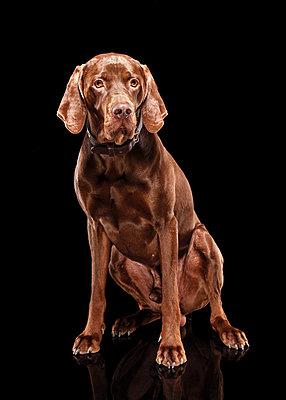 Hunting dog - p803m2270201 by Thomas Balzer