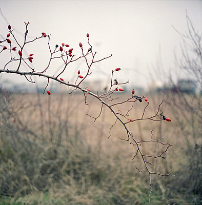 Rose hips - p9110514 by Benjamin Roulet