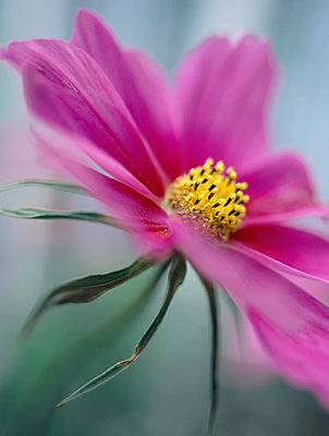 Red cosmos flower close-up - p972m1160292 by Gerry Johansson