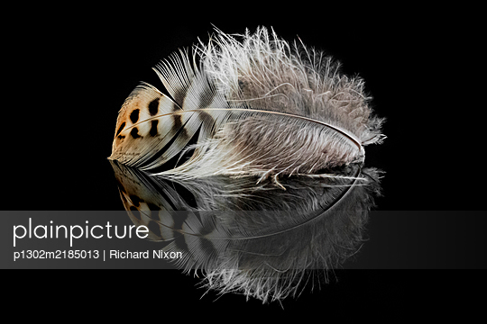 Soft Owl feather on a black reflective surface - p1302m2185013 by Richard Nixon