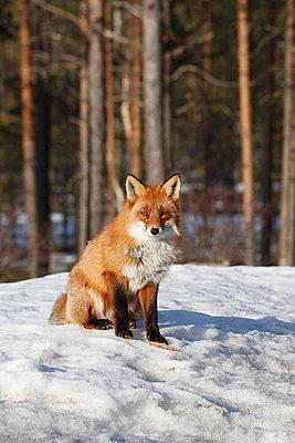 Fox in winter - p235m900459 by KuS