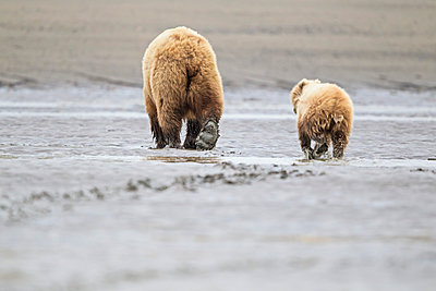 USA, Alaska, Lake Clark National Park and Preserve, Brown bear and bear cub (Ursus arctos), foraging - p300m911241f by Fotofeeling