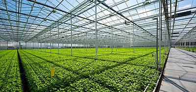 Growing chrysanthemums in modern Dutch greenhouse, Maasdijk, Zuid-Holland, Netherlands - p429m2019449 by Mischa Keijser