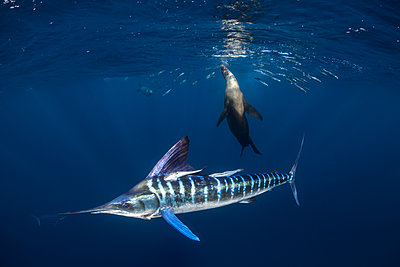 Striped marlin hunting mackerel and sardines, joined by sea lion - p429m2068844 by Rodrigo Friscione