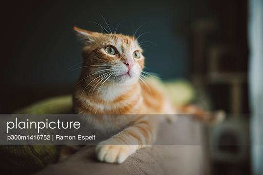Ginger cat on alert lying on backrest of couch