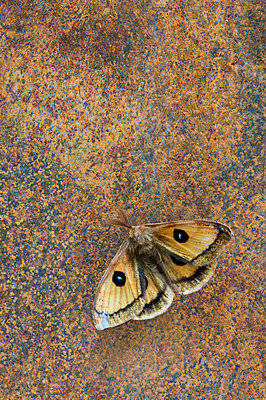 Moth on rusty iron background - p971m911945 by Reilika Landen